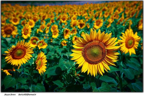 Sonnenblumen stehen für Freundschaft und Lebensfreude © flickr / Moyan_Brenn